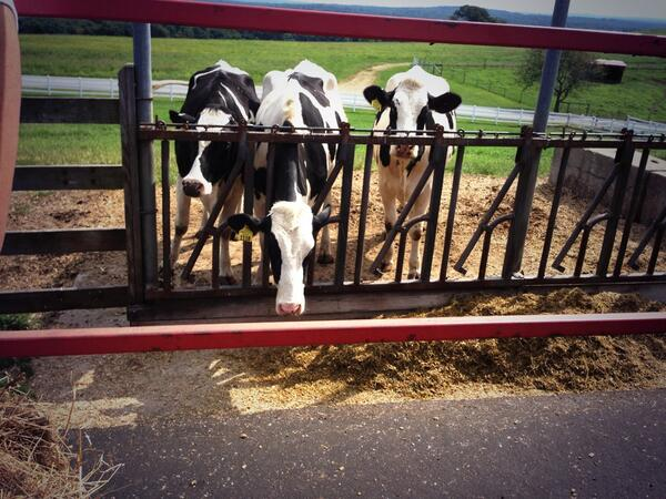 Dairy cows at UConn.