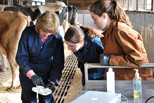 Students work with cows in Animal Science, College of Agriculture